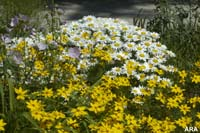 Picture of yellow and white flowers